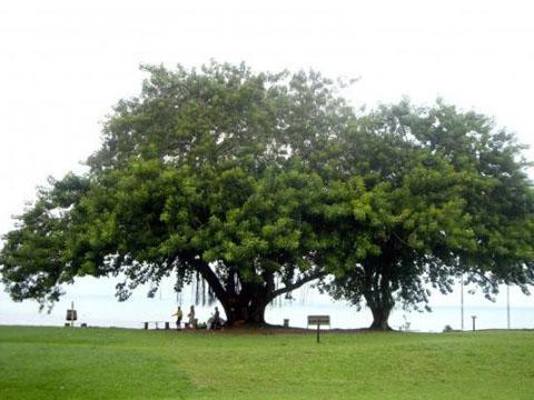 albero secolare a porto